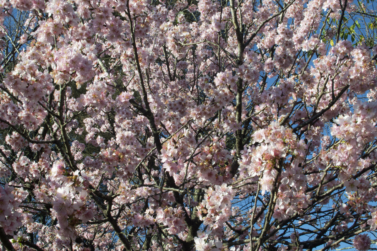 cerejeiras10