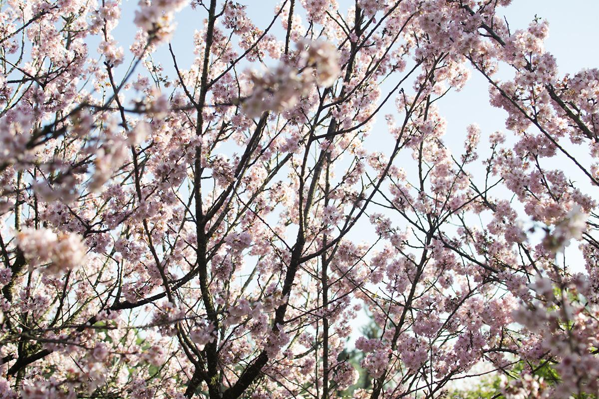 cerejeiras2