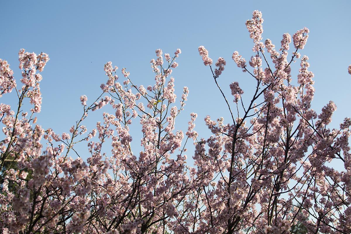 cerejeiras3