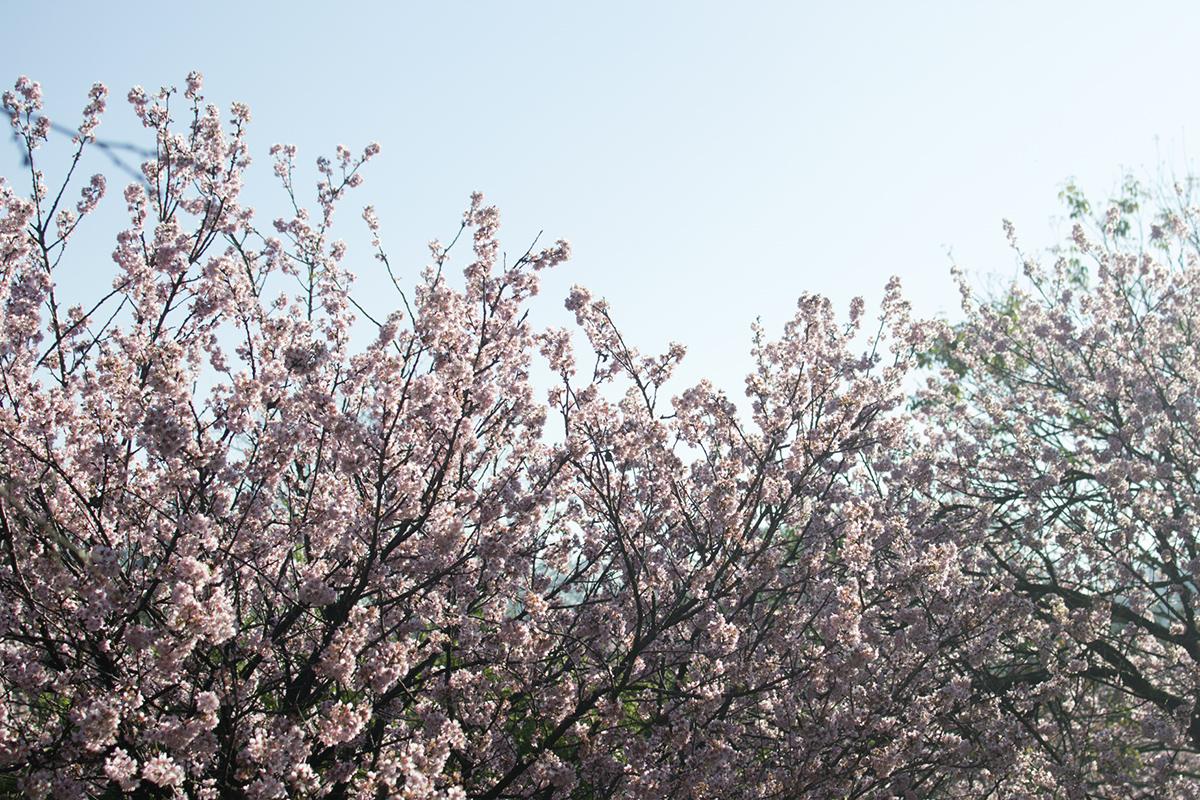 cerejeiras4