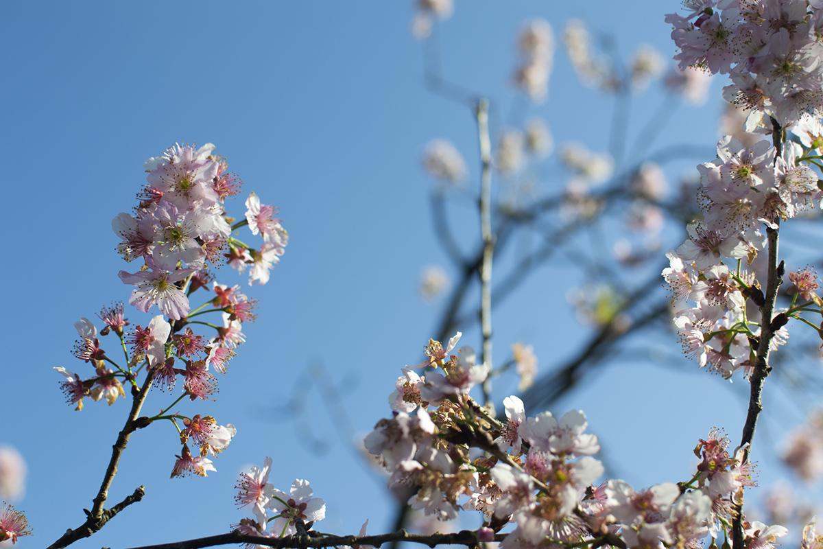 cerejeiras5