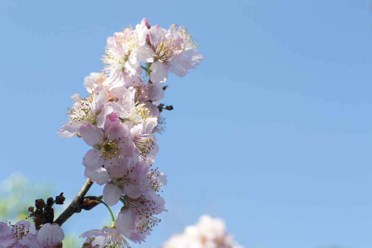 cerejeiras6