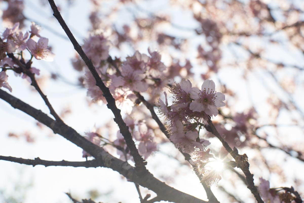 cerejeiras7