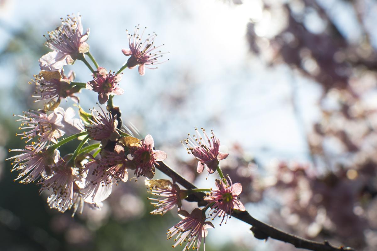 cerejeiras8