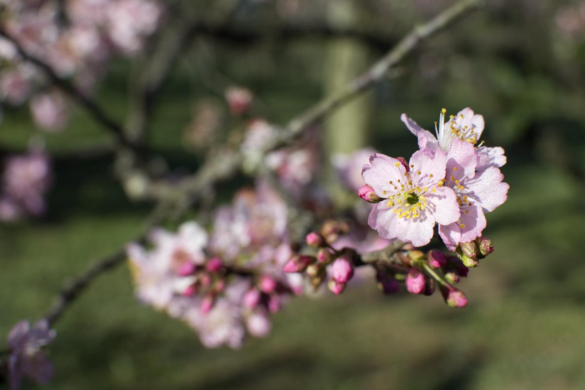 cerejeiras9